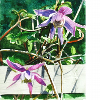 Clematis. Original watercolour.