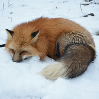 Photo 'Asleep in the Snow'