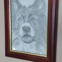 Welsh collie .Original drawing .picture