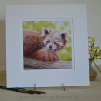 "Lovely Inquisitive Red Panda 12""x12"" Print"