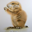 "Prairie Dog  ORIGINAL Coloured pencil drawing  8.4"" x 5.8""  by Claire Margaret"