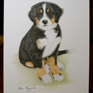 "Bernese Mountain Dog ORIGINAL pencil drawing 8.4"" x 5.8"" By Claire Margaret"