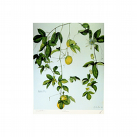 Passion-fruit Botanical Print Tropical Fruit Artwork. Botanical illustration