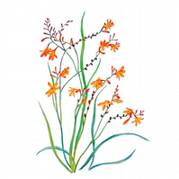 Flowers Watercolour  Botanical Montbretia Lily Painting