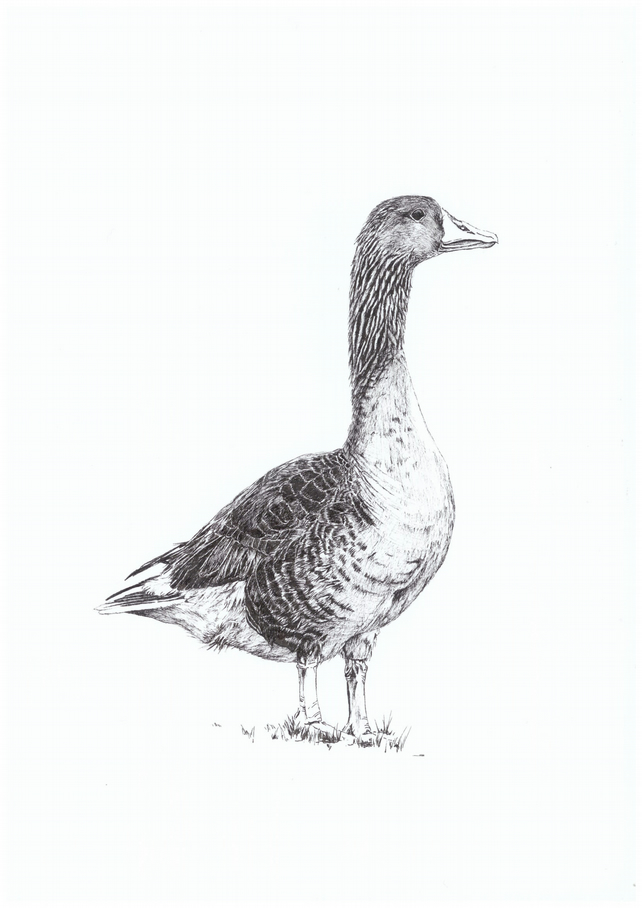 A4 PRINT of a Goose in pen and ink
