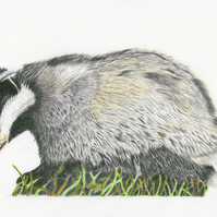 The Indomitable Badger Limited Edition A4 Print