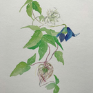 Limited Edition Gliclee Print of Watercolour Clematis Botanical Study