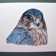 Merlin A4 Giclee Print of Original Coloured Pencil Drawing Bird Art