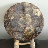 Ammonites Abound! Amazing Ammonite Fossil Ornamental Plate.