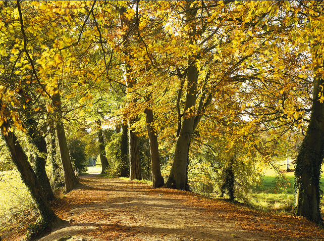 autumn landscape avenue of path footpath through between autumnal beech trees UK