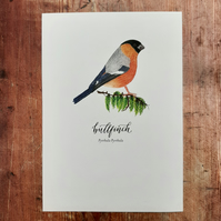 Bullfinch Watercolour Art Print