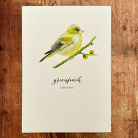 Greenfinch Watercolour Art Print