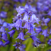 Greeting Card -Spring Bluebells