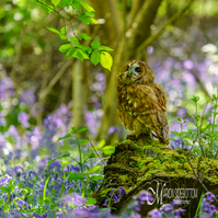 Greeting Card - Tawny Owl in Spring Bluebells