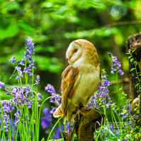 Greeting Card - Barn Owl in Spring Bluebells