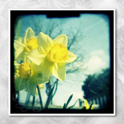 Sale! Daffodils: 5 x 5 inch ttv photo print. Spring wall art, decor, gift