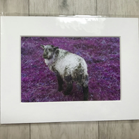 Sheep Mounted Photo