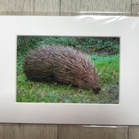 Sleepy Hedgehog Mounted Photo