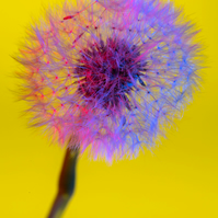 """Dandelion No 3"" - Greeting Card or Print"
