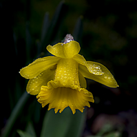 Dances with the Daffodils - bright yellow with raindrops
