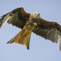 Feathers and fighters - red kite