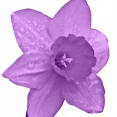 The Purple Daffodil