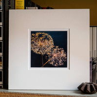 Allium seedheads – fine art photography, flower photography, visual art