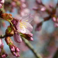 Pink blossom in spring greetings card (blank inside) - mindful photography