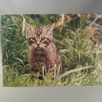 Scottish Wildcat Greetings Card