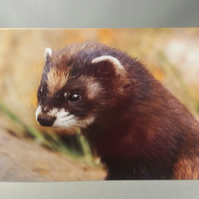 Polecat Greetings Card