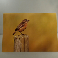 Stonechat Greetings Card