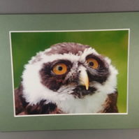 Spectacled Owl Mounted Photograph