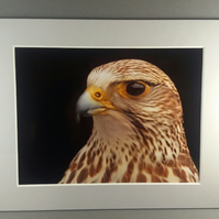 Falcon Portrait