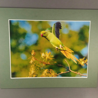 Parakeet in flight. Mounted photograph
