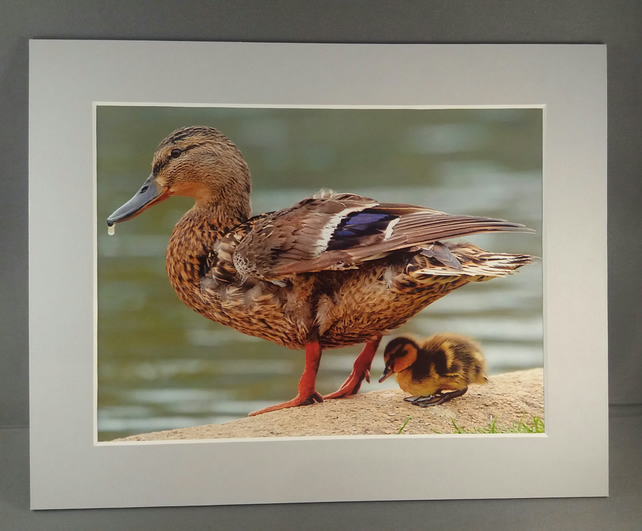 Little Duckling. Mounted photograph