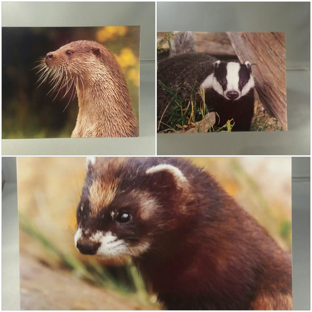 Set of 3 Wildlife Greeting Cards, Otter, Badger and Polecat.