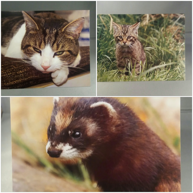 Set of 3 fluffy animal greeting cards. Scottish Wildcat, Cat and Polecat