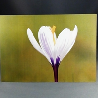 Crocus in the sunshine. Greeting Card