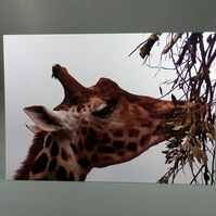 Giraffe Greeting Card. Factual Greeting Card.