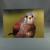 Kestrel  Greeting Card. Factual Greeting Card. Blank inside.
