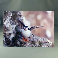 Puffin  Greeting Card. Blank inside. Factual Greeting Card. Any occasion.