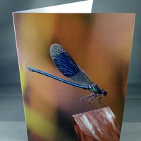 Banded Demoiselle greeting Card.  Blank inside. Factual Greeting Card.