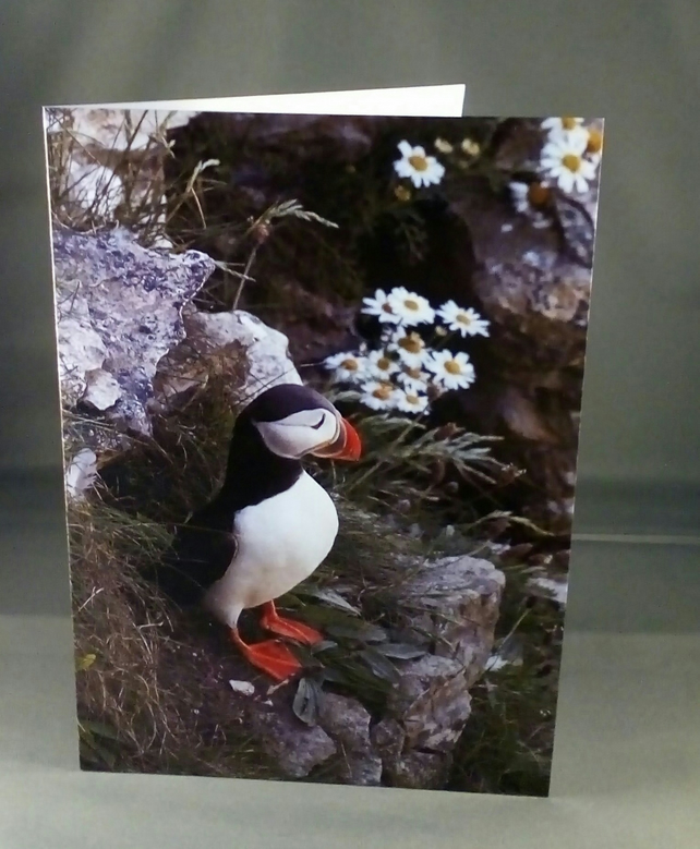 Puffin amongst the Daisies. Blank inside. Factual Greeting Card. Any occasion.