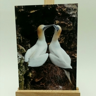 Gannets Courtship Ritual Anniversary Greetings Card.