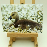Gosling Amongst The Dasies Greetings Card