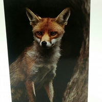 Red Fox (Vulpes Vulpes) Greetings Card