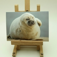 Posing Grey Seal Greetings Card. Factual Card.