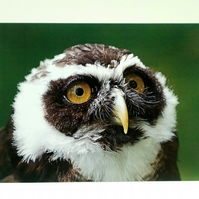 Spectacled Owl Greetings Card