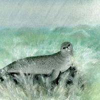 Common (Harbour) seal. Quality print from an original pastel drawing