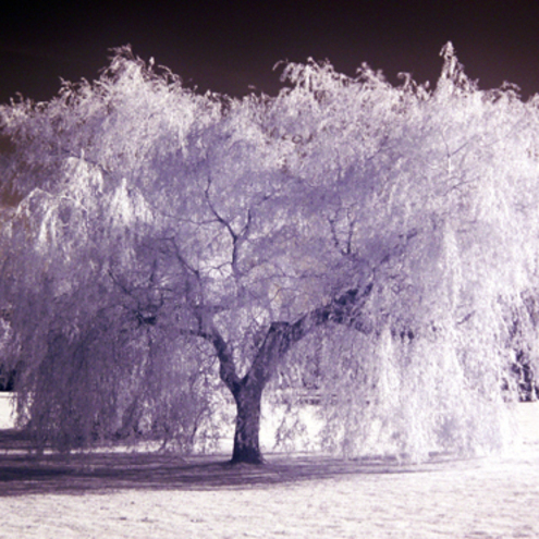 10x8 Print - Willow Tree in Infrared